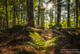 Woodland scene with fern