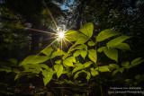 Sunburst in the  woods