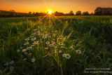 Sunset with Daisies