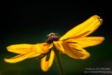 Black Eyed Susan with bee