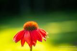 Orange Coneflower (Echinacea)