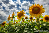 A field of sunflowers 2