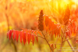 Colorful Sumac