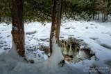 Cedar Trees with ice cave