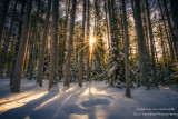 Tall Pine trees with sun rays
