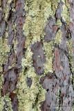Pine bark and lichens