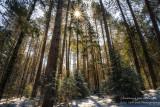 Sun in tall pine trees
