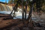 Cedar Trees, Gooseberry Falls State park 1