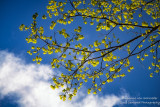 Blue sky, clouds and spring leaves