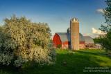 Blooming Apple tree in rural Wisconsin