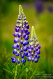 Blue and white Lupin