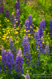 Lupins and Buttercups, Bayfield area