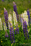 Group of blue & white Lupins
