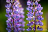 Light blue Lupins