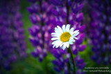 Single Daisy with Lupins in the background