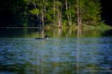 Loon on Audie Lake