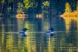 A pair of Loons on Audie Lake 1