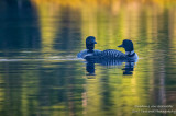 A pair of Loons on Audie Lake 2