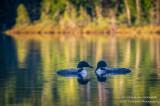 A pair of Loons on Audie Lake 3