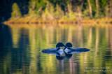 A pair of Loons on Audie Lake 4