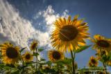 Sunflowers = summer!! 1