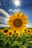 Sunflowers = summer!! 2