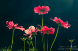 Cosmos dancing in the morning light