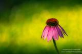 A single Echinacea flower (Coneflower)