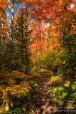 Maple trees in brilliant colors 2