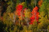 Brilliant red Maple trees