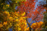 Fall colors - looking up