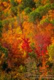 Brilliant fall colors - Juniper Rock 1