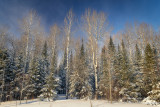 Winter trees standing tall