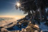 Cedar trees at Sugar Loaf Cove