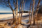Birch trees at Sugar Loaf Cove
