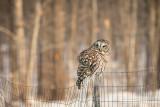 Barred Owl 5