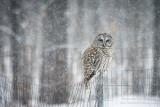 Barred Owl 6