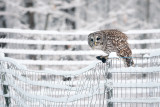 Barred Owl with mole
