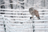 Barred Owl with mole 2