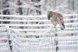 Barred Owl eating a mole