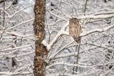 Barred Owl in snowy tree