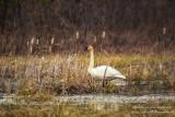Swan at Crex Meadows, WI