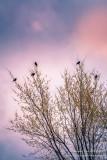 Five Redwing birds in a tree