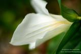 Trillium flower, up close