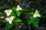 A group of Trillium flowers