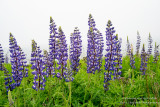 Blue Lupins on a foggy day along Lake Superior
