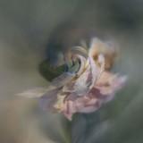 Frosty Rose....