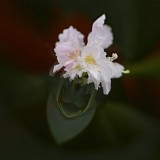Rhododendron....