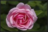 Favorite rose shots!