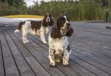 English Springer Spaniels....Charlie and Jack...